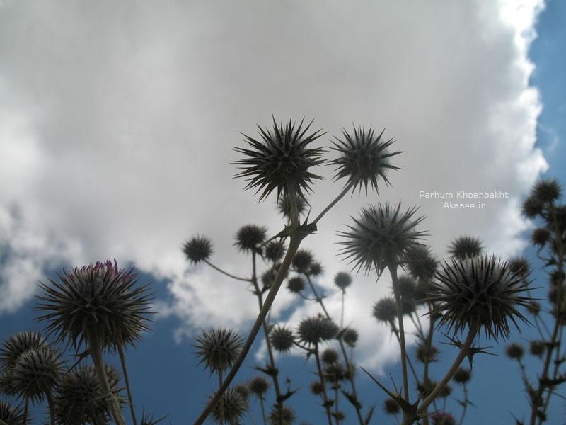 گل گرز، عکس از پرهام خوشبخت - Akasee.ir
